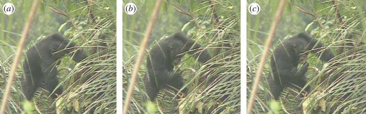 Un'immagine tratta dallo studio che documenta le abitudini delle scimmie