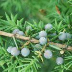 Ginepro scozzese in pericolo: un fungo ne minaccia la crescita