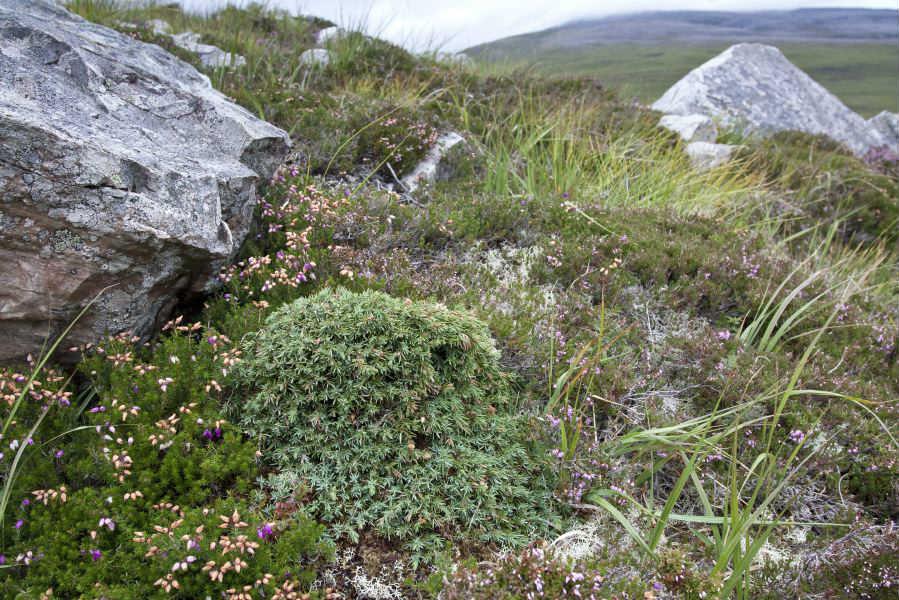 Una pianta di ginepro nelle Highlands Scozzesi