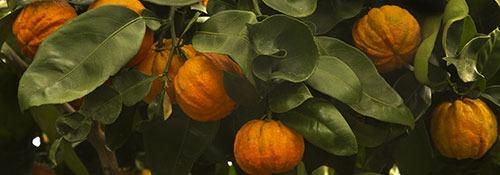 arancia-amara-lista