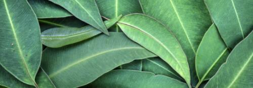 eucalipto-lista