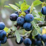 6 Sloe Gin da 6 diversi paesi europei da provare