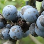 Cucinare con il gin: Pannacotta allo Sloe Gin
